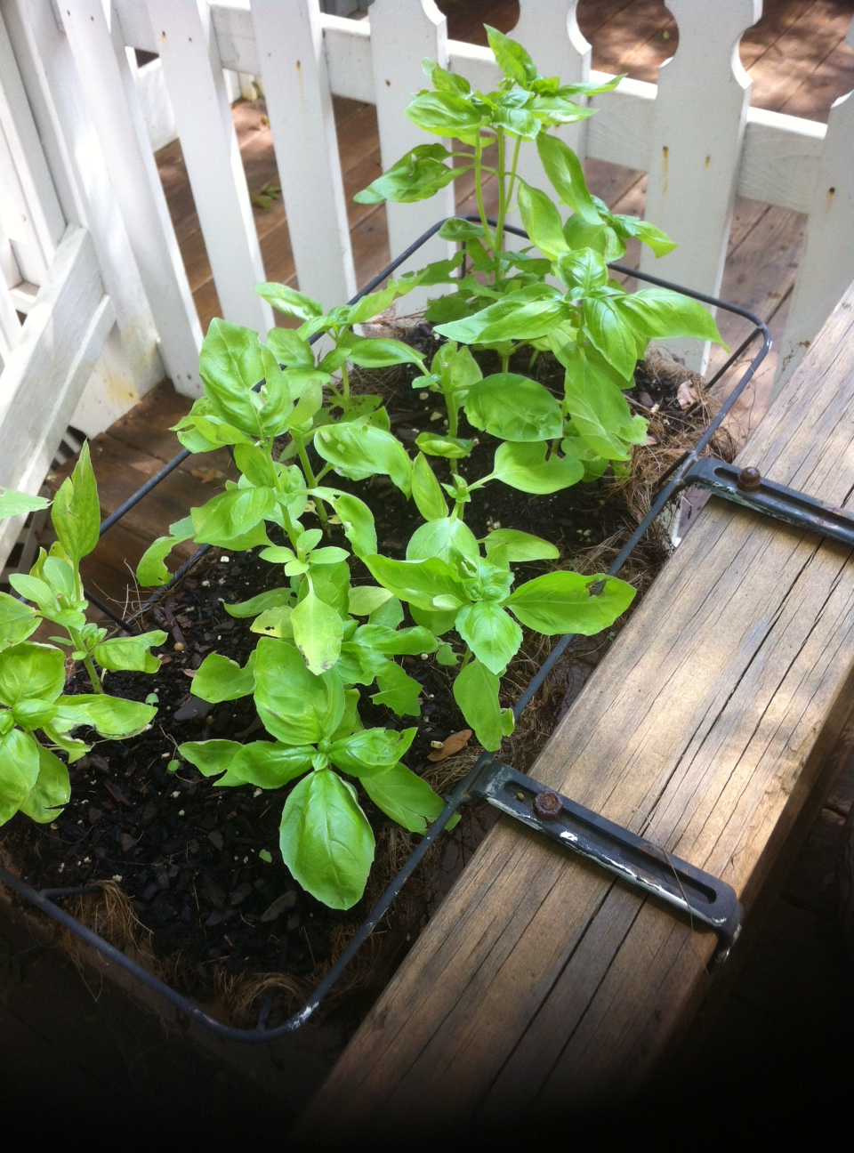 I Grew Basil from Seeds